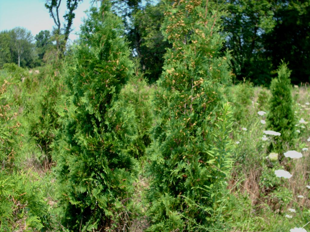 Our American Arborvitae