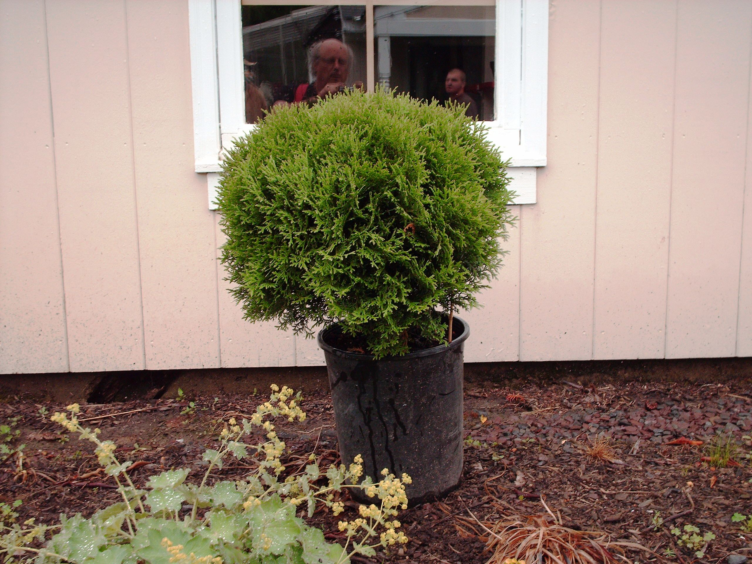 Our Hetz Globe Arborvitae in 2Gal Pot