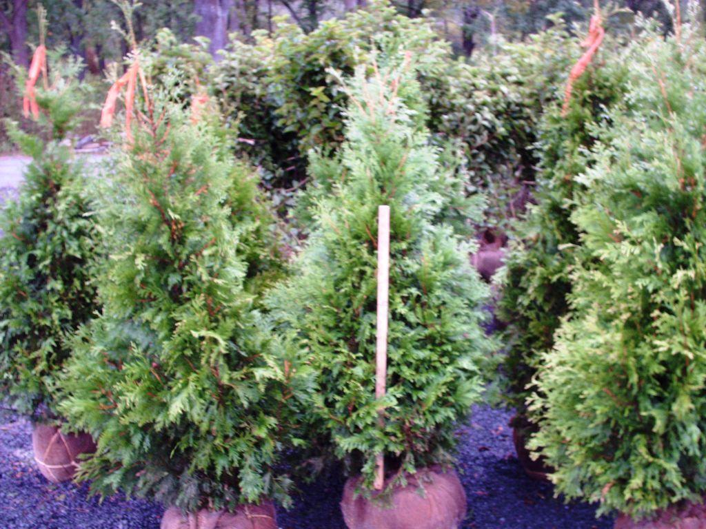 Our 4ft Elegantissma Arborvitae