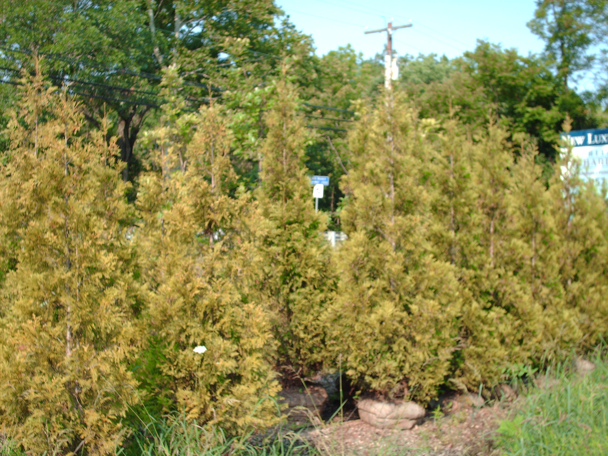 Our Peabody Arborvitae 10 ft tall