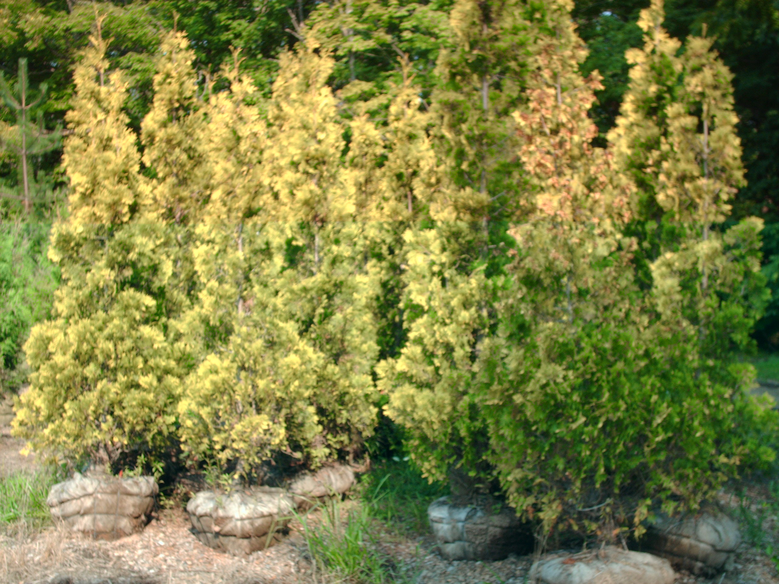 Our Peabody Arborvitae 8 ft