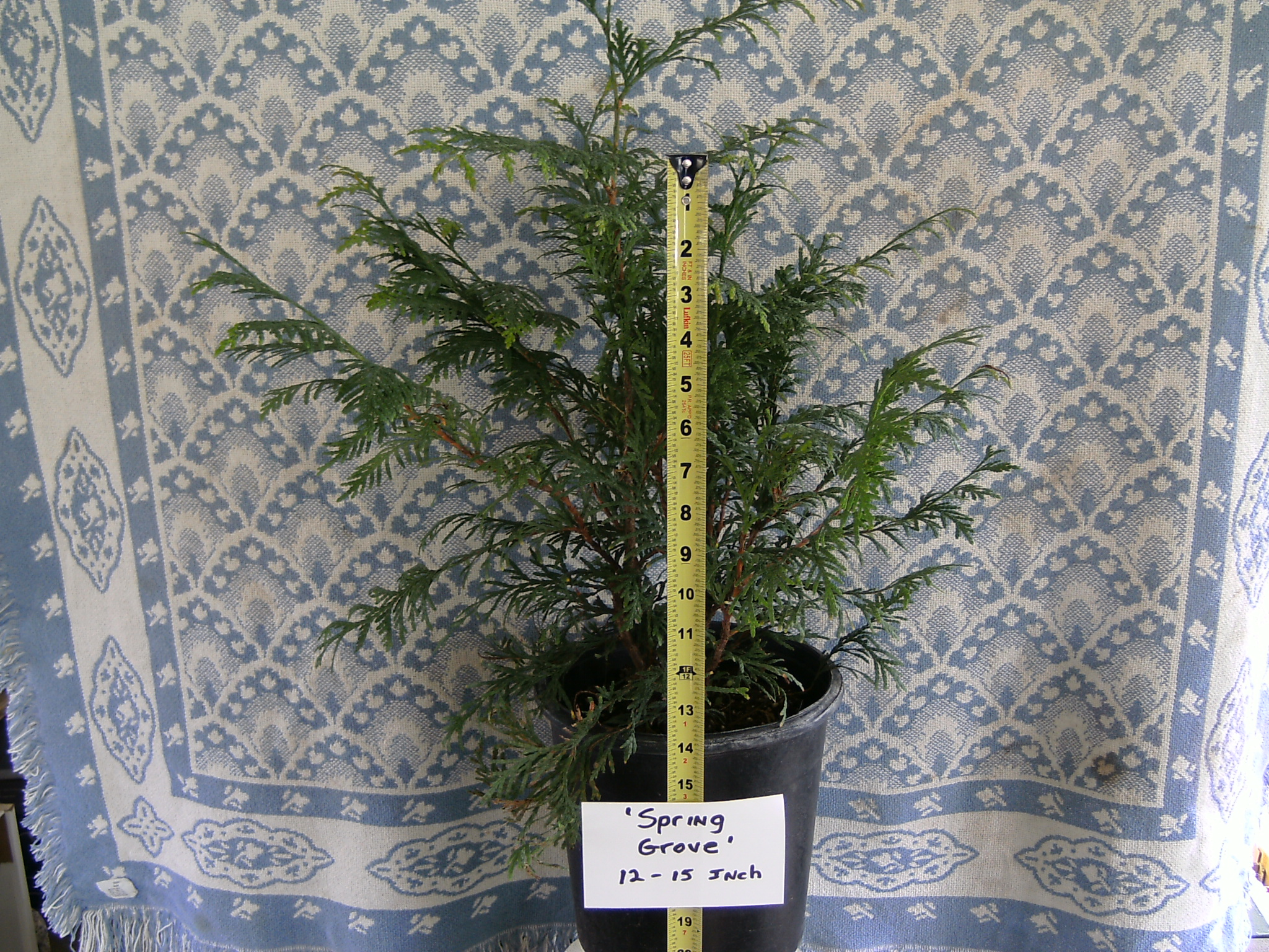 Our Spring Grove Arborvitae Liner