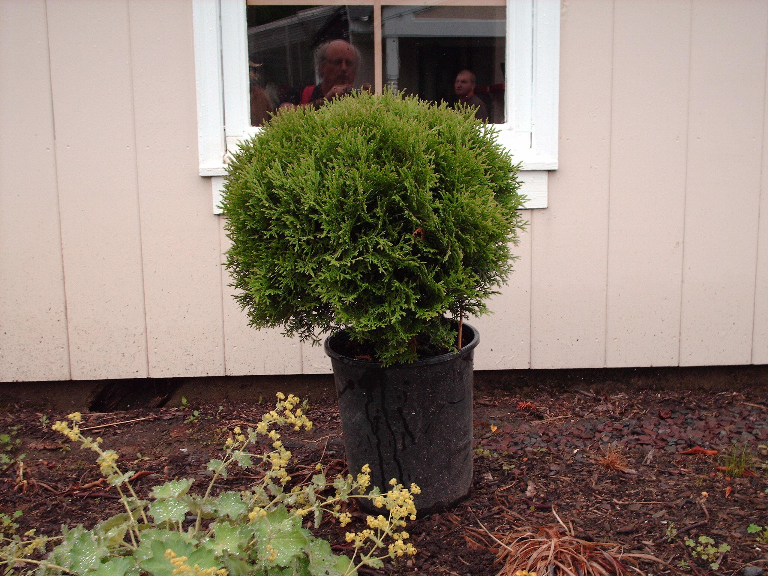 Our Tom Thumb Arborvitae