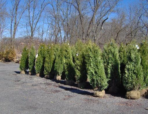 Our Holmstrup Arborvitae