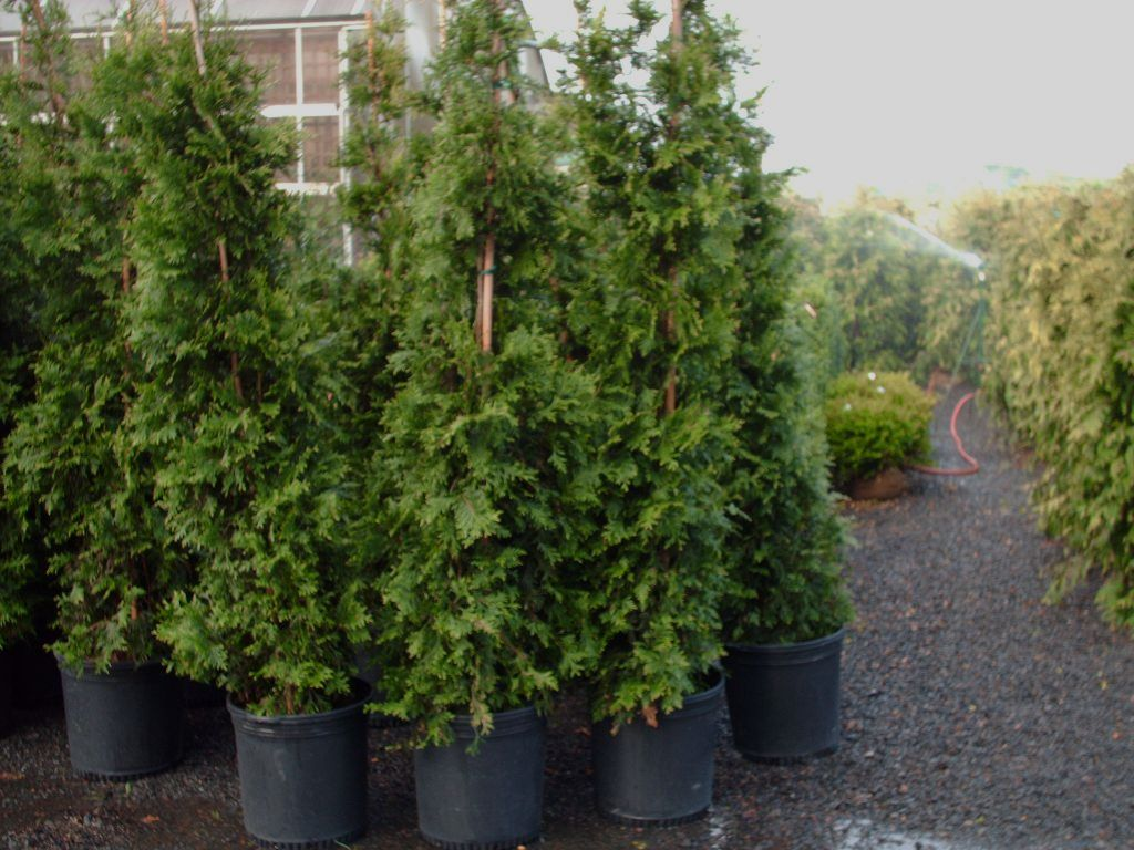 Our Spring Grove Arborvitae 5 ft B&B