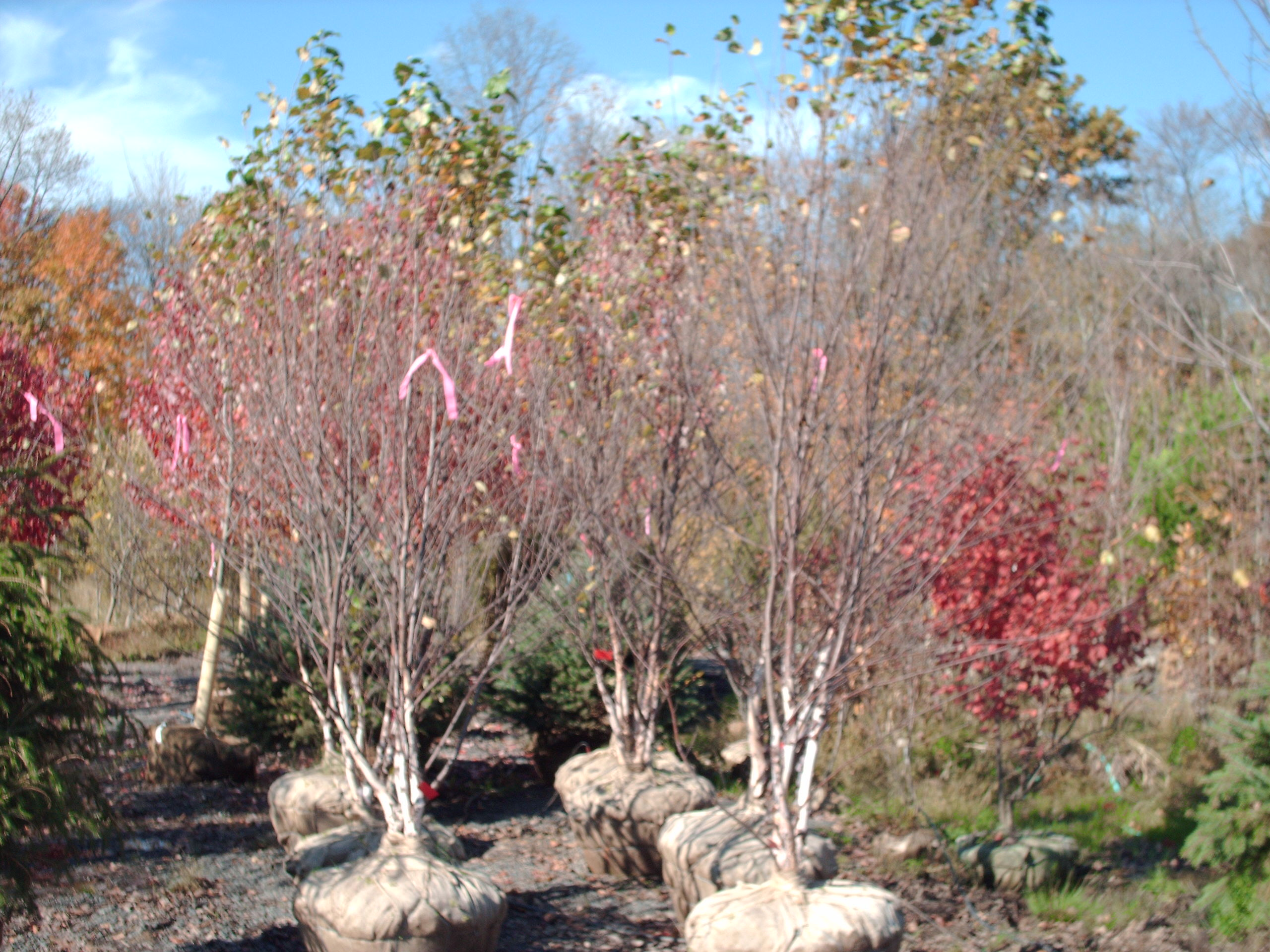 Our Heritage River Birch Trees