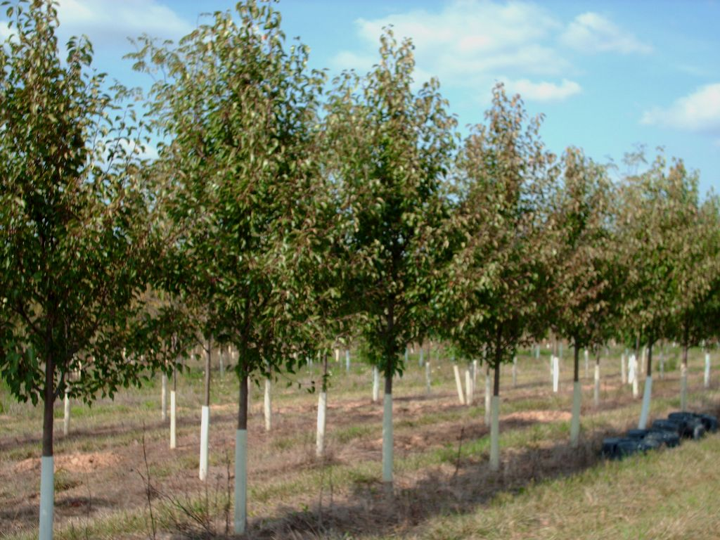 Our Aristocrat Pear Trees