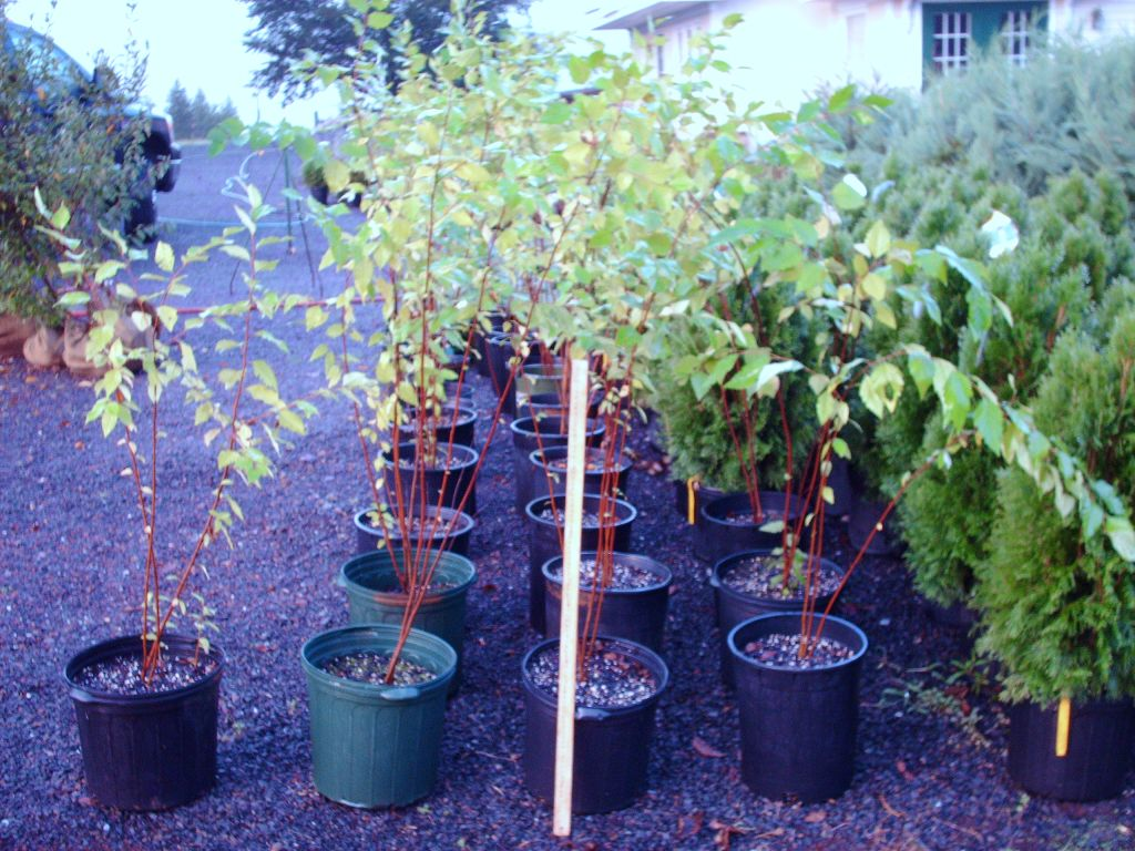 Our River Birch Tree Liners 3 ft multi stemmed