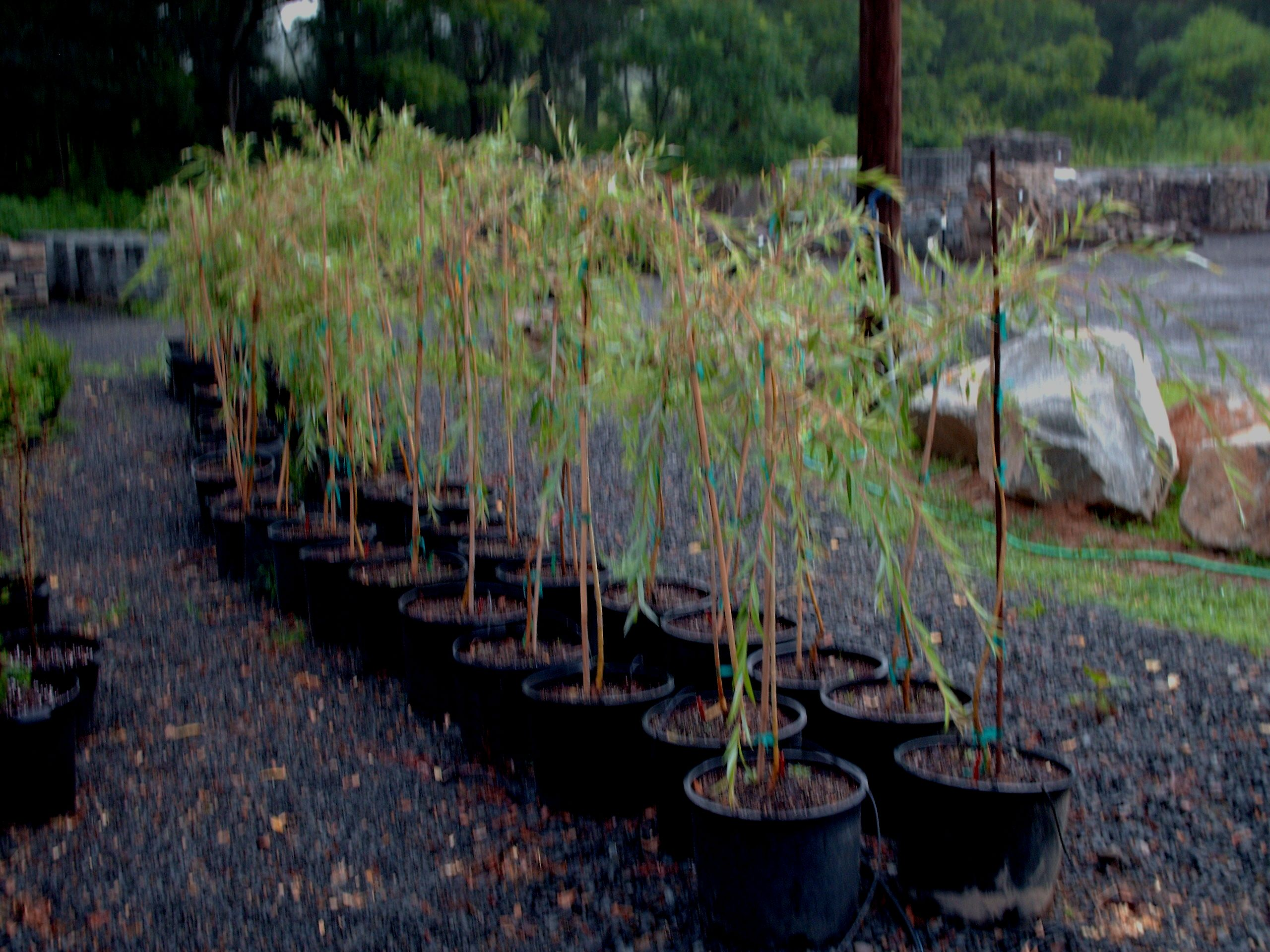 weeping willow sapling