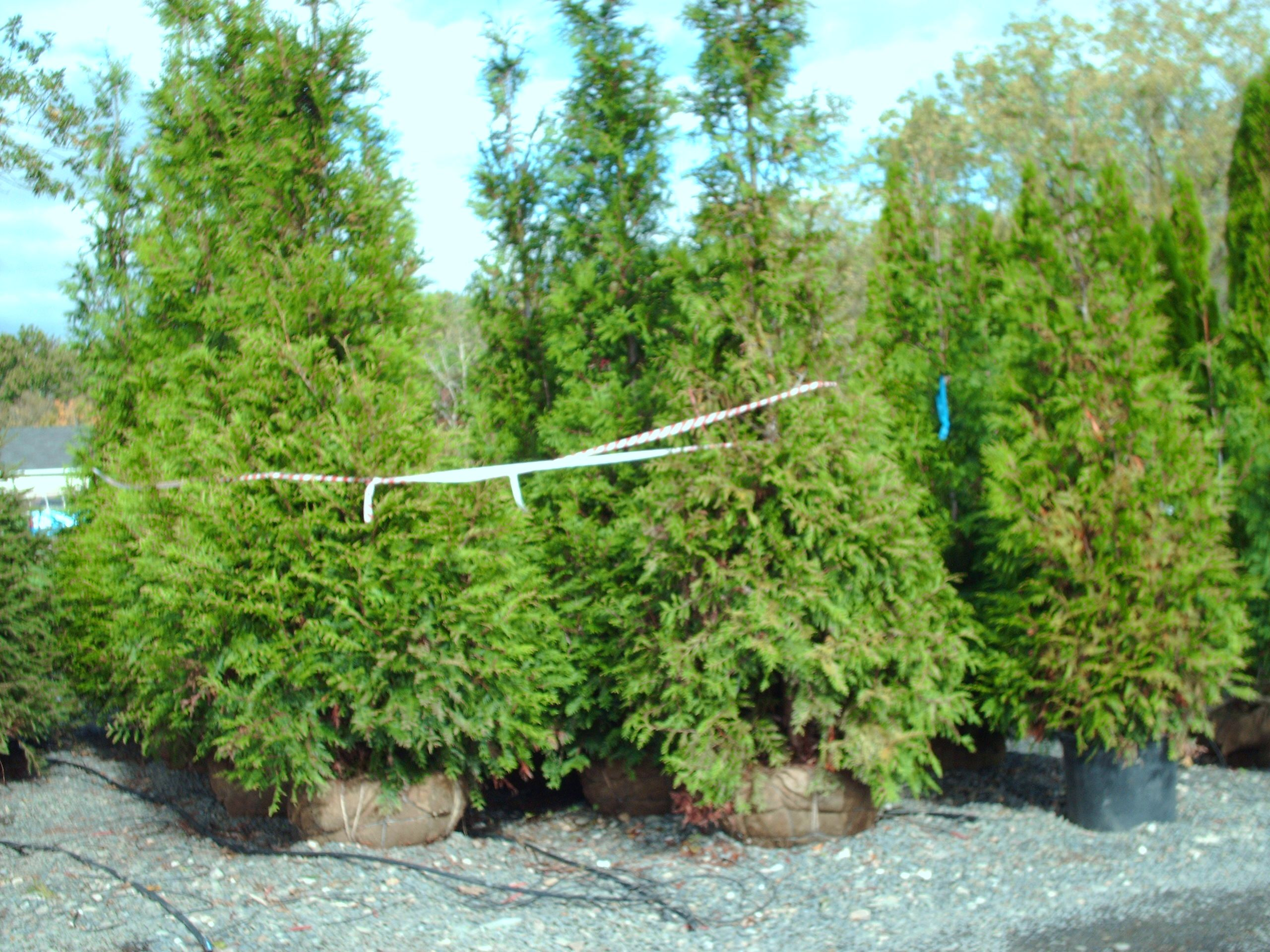 Our 12 ft Thuja Green Giants Ready To Ship