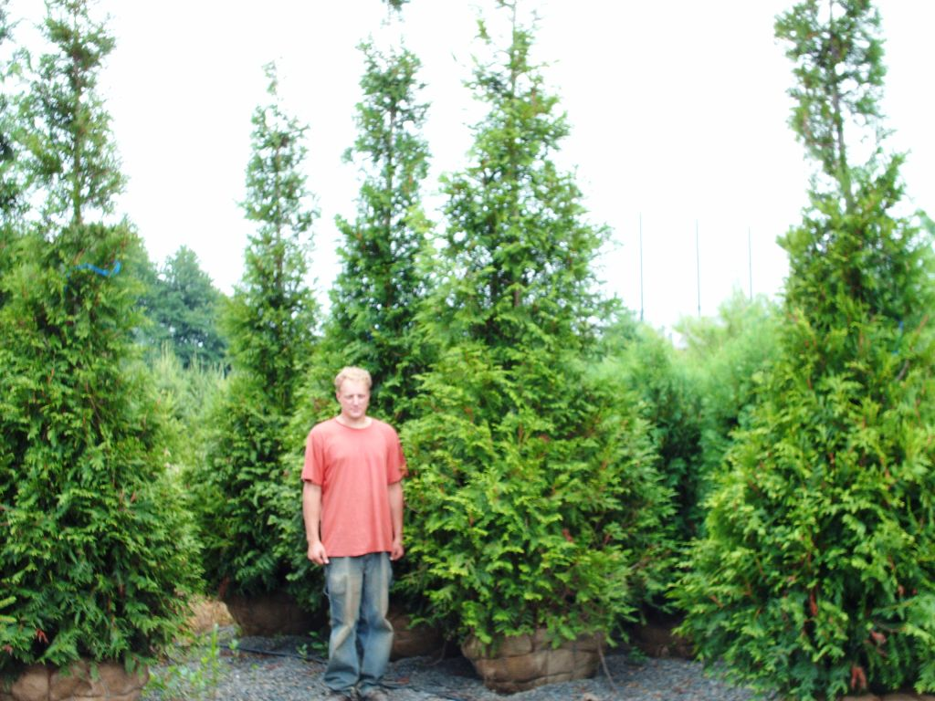 Our Green Giants Mike Next to 12 ft Trees in 32