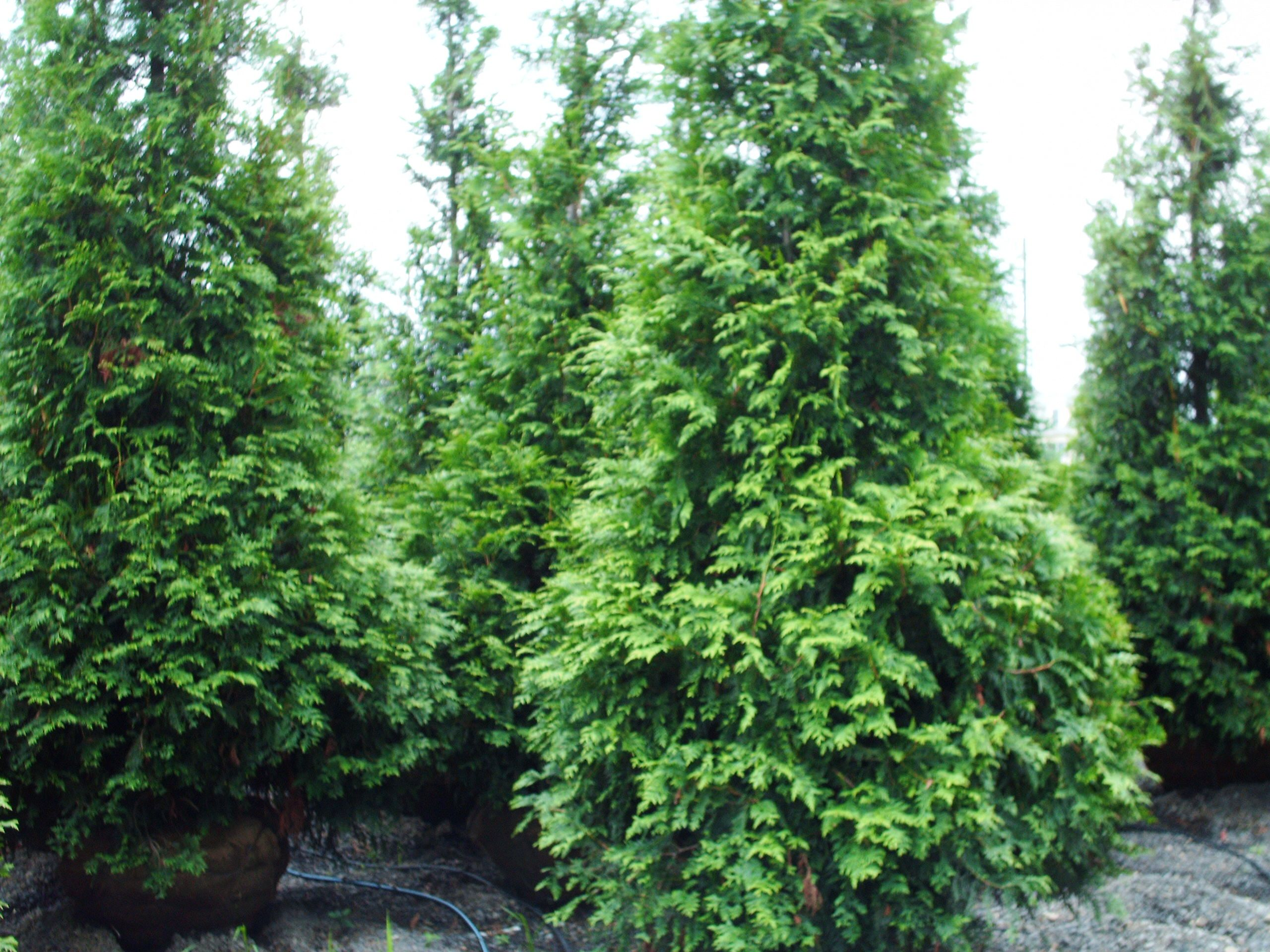 Our green giants 12 ft b b in fountainville pa nursery for Green giant arborvitae