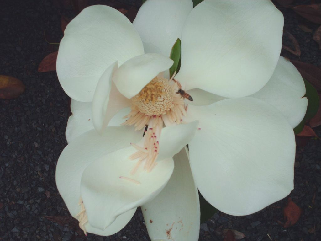 Blanchard Magnolias Flower