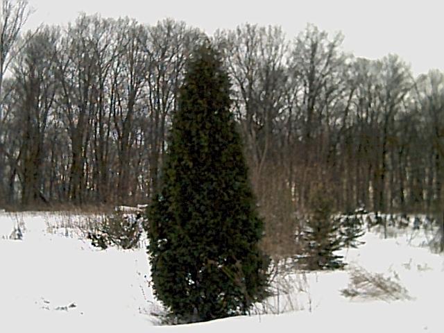 Our Nigra Arborvitae