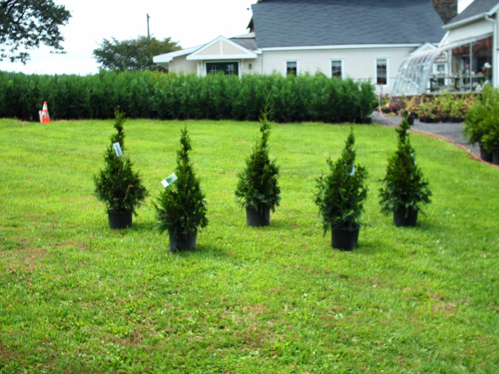 Our Western Red Cedar Seedlings Can Can