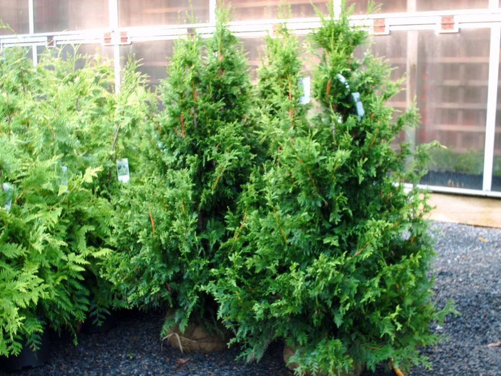 Our Western Red Cedar Seedlings Can Can 4 ft
